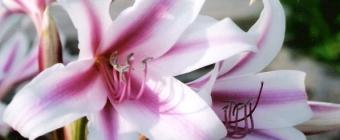 Mowa i znaczenie kwiatów