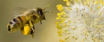 Pyłek pszczeli wspomaga układ odpornościowy i nie tylko!