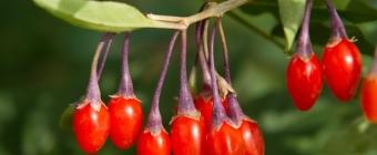 Owoce Goji - diamenty wśród żywności